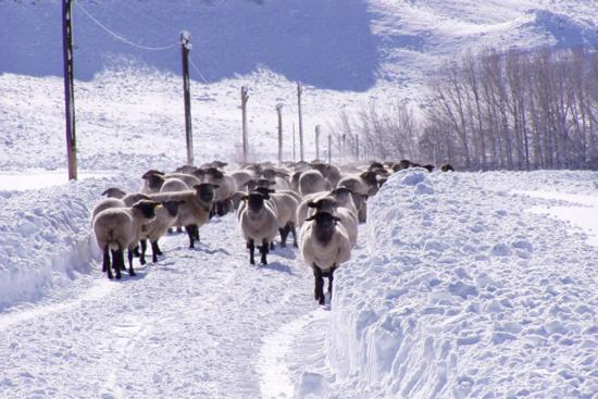 Goss Sheep-snow